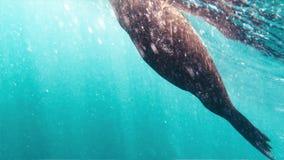 Film- Unterwasserschu? einer Dichtung, die im blauen Wasser spielt Von oben scheint die Sonne auf der Dichtung stock footage