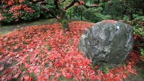 Film van Dalende Rode Geregen Esdoornbladeren van Boom Autumn Season op een Winderige Dag in Japanse de Tuinclose-up 1080p van Po stock videobeelden