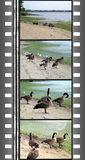 Film of wild gooses Royalty Free Stock Photo