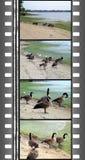 Film of wild gooses Royalty Free Stock Photo