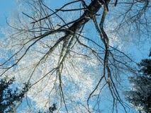 Filmado de la parte inferior al top de un árbol en backgrou del cielo azul Imágenes de archivo libres de regalías