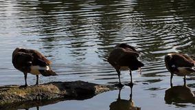 Filme alto da definição de quatro gansos de Canadá que enfeitam-se e que nadam em uma lagoa 1920x1080 video estoque