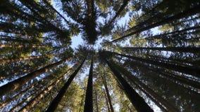 Filme alto da definição 1080p de abeto sempre-verdes eretos retos altos no movimento circular na floresta 1920x1080 de Oregon filme