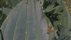 A big leaf with a grasshopper stock video