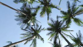 Filmed palm trees on a beach from below stock video