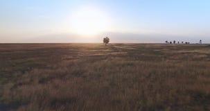 Filmisk flyg- sikt från surret av ett enkelt träd i fältet på goldertimmesolnedgången lager videofilmer