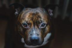 Filmiskt foto av staffordshire bull terrier med låg kontrast royaltyfri fotografi