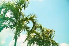 Filmiskt tonat foto för Cocopalmträd r fotografering för bildbyråer