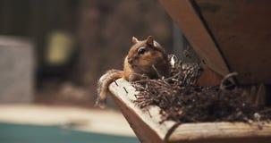 Filmowy strzał żywieniowy Chipmunk zdjęcie wideo