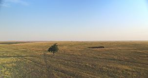 Filmowy widok z lotu ptaka pojedynczy drzewo w polu przy zmierzchem zdjęcie wideo