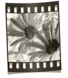 filmstrip花宏观负的 库存照片