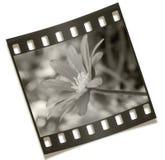 Filmstrip Blumen-Negativ Stockbild