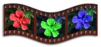 Filmstrip del RGB del hibisco Fotografía de archivo