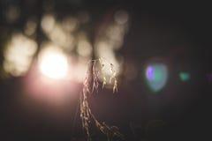 Filo d'erba alla luce solare di primo mattino Fotografie Stock