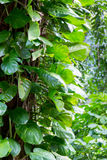 Filodendron opuszcza na bagażniku tropikalnego lasu deszczowego drzewo Fotografia Stock