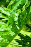 Filodendron rośliny liść Obrazy Royalty Free