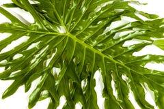 Filodendron rośliny zieleni liść Wyszczególnia wzory i tekstury Zdjęcia Royalty Free