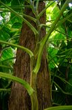 Filodendron roślina Fotografia Royalty Free