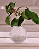 Filodendronu kiełkowy dorośnięcie w szklanej żarówce zdjęcia stock