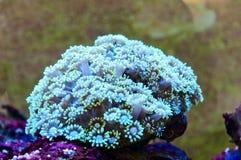 Filones coralinos Fotografía de archivo