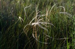 Fils argentés d'un balancement de stipe plumeux le vent chaud d'été photo libre de droits