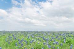 Filt för Bluebonnet för bästa sikt för närbild i Ennis, Texas, USA på spr Arkivfoton