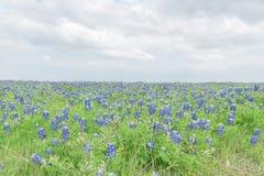 Filt för Bluebonnet för bästa sikt för närbild i Ennis, Texas, USA på spr Arkivfoto