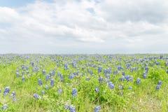Filt för Bluebonnet för bästa sikt för närbild i Ennis, Texas, USA på spr Royaltyfria Foton