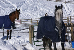 filt hästpar royaltyfri bild