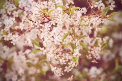 Filtered colors of cherry tree blossom, floral background, spring blooming flowers Stock Photography