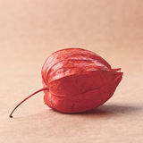 Filtered coseup image of single red physalis alkekengi Stock Photography