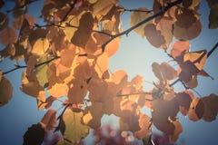 Filtered image colorful golden fall foliage Bradford pear leaves. Vintage tone beautiful autumn leaves backlit, Bradford pear Callery pear tree stock image
