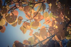 Filtered image colorful golden fall foliage Bradford pear leaves. Vintage tone beautiful autumn leaves backlit, Bradford pear Callery pear tree royalty free stock images