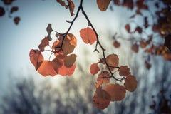 Filtered image colorful golden fall foliage Bradford pear leaves. Vintage tone beautiful autumn leaves backlit, Bradford pear Callery pear tree stock photos