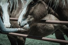 Filtered image female hand feeding Belgian Heavy Horse at farm in North Texas, America. Vintage tone a Caucasian lady hand feeding Belgian horse at ranch in royalty free stock images