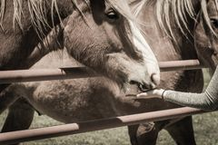 Filtered image female hand feeding Belgian Heavy Horse at farm in North Texas, America. Vintage tone a Caucasian lady hand feeding Belgian horse at ranch in royalty free stock image