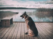 Dog looking at water. Filtered image of a shepherd dog looking at water while sitting on wooden bridge stock photo