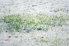Green grass in snow, Hello spring, Goodbye winter concept Royalty Free Stock Images