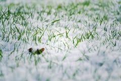 Green grass in snow, Hello spring, Goodbye winter concept Stock Photography