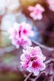 Filtered photo of blooming peach tree Stock Images