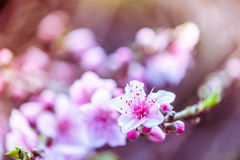 Filtered photo of blooming peach tree Stock Photo