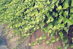 Filtered picture of Green Common Ivy Stock Image