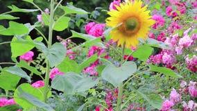 Filtração acima do girassol amarelo ao jardim video estoque