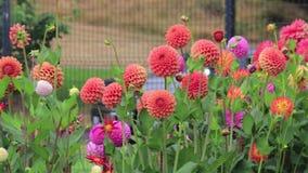 Filtração através das flores cor-de-rosa e alaranjadas no jardim do dence vídeos de arquivo