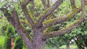 Filtrado de caída de pétalos delicada del cerezo floreciente sobre la cerca del jardín metrajes