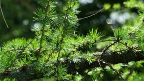 Filtrado de la vista de la rama de la primavera del árbol de alerce europeo en viento ligero, 4K almacen de metraje de vídeo