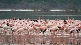 Filtrado del tiro de pocos flamencos en el bogoria del lago metrajes
