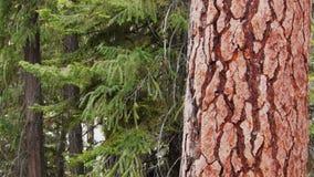filtrado del tiro de un árbol de pino almacen de video