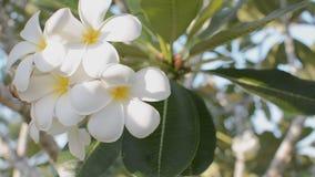Filtrado derecha a izquierda de la flor del Frangipani de la cantidad almacen de video