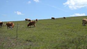 Filtrando sopra le mucche stock footage
